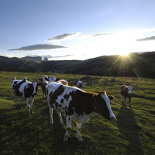pascolo vacche alpe di siusi
